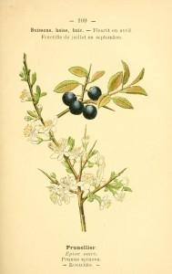 dessin fleurs prairies champs bois prunellier - prunus spinosa - epine noire